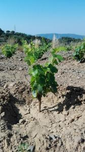 nuova vigna Albarola - La Maestà